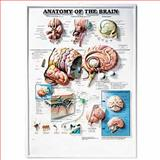 Anatomy of the Brain 3D Raised Relief Chart, Anatomical Chart Company Staff, 1587790920