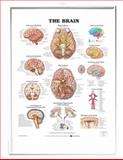 The Brain 3D Raised Relief Chart, Anatomical Chart Company Staff, 1587791080