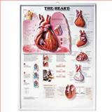 The Heart 3D Raised Relief Chart, Anatomical Chart Company Staff, 1587791552
