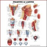 Pharynx and Larynx, Anatomical Chart Company Staff, 1587791803