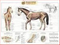 Equine Skeletal System Anatomical Chart 9781587793905