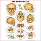The Human Skull 3D Raised Relief Chart, Anatomical Chart Company Staff, 1587794527