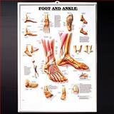 Foot and Ankle Anatomical Chart, Anatomical Chart Company Staff, 158779456X