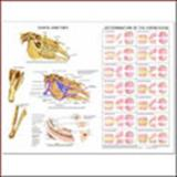 Equine Dental Wall Chart, Anatomical Chart Company Staff, 1587795825