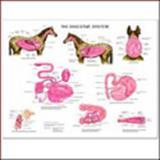 Equine Digestive Wall Chart, Anatomical Chart Company Staff, 1587795833