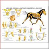 Equine Hindlimb Joint and Ligament Wall Chart, Anatomical Chart Company Staff, 1587795876