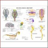 Equine Neurological Wall Chart, Anatomical Chart Company Staff, 1587795906