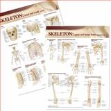 Lippincott Williams and Wilkins Atlas of Anatomy Skeletal System Chart Set, Anatomical Chart Company, 078178641X