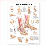 Foot and Ankle Anatomical Chart, Anatomical Chart Company Staff, 1587796864