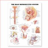The Male Reproductive System Anatomical Chart, Anatomical Chart Company Staff, 1587797119